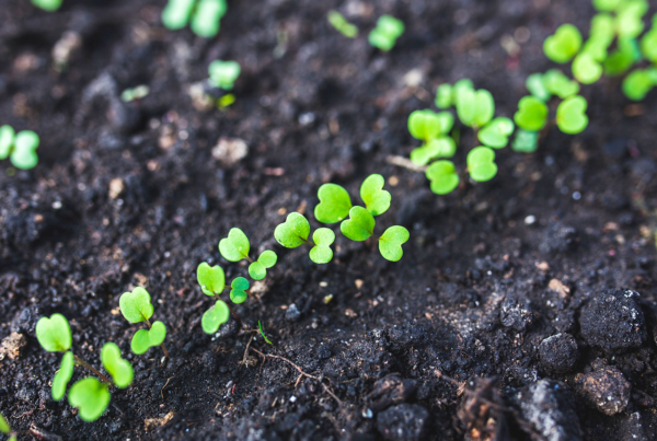 seedlings in black soil