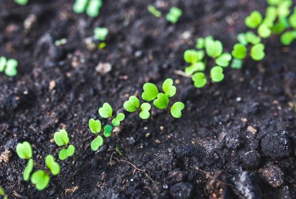 seedlings in black soil
